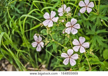Richardson's Geranium (Geranium richardsonii) is native to the western US and western Canada