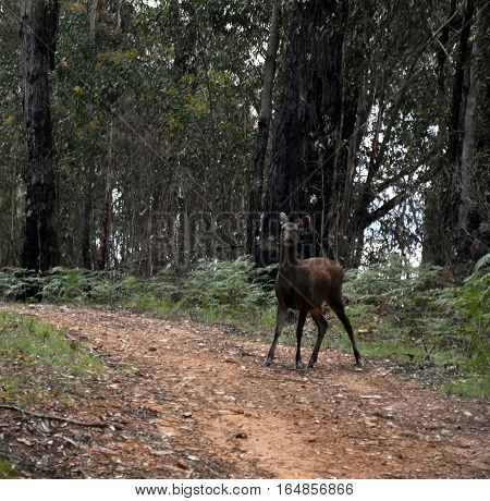 Red Deer (Cervus elaphus) in the forest (High Country Victoria Australia)