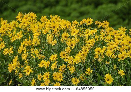 Showy Goldeneye (Viguiera multiflora) (Heliomeris multiflora) aka False Goldeneye is a member of the sunflower family
