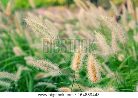 Green Setaria in the park with soft focus background