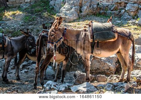 Typical greek donkeys with saddle in the mountains. Crete, Greece. Donkeys are used for transportation on the island of Greece where cars are not allowed