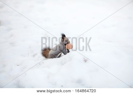 Cute squirrel looking at winter scene with a cedar cone on snow in winter park or forest