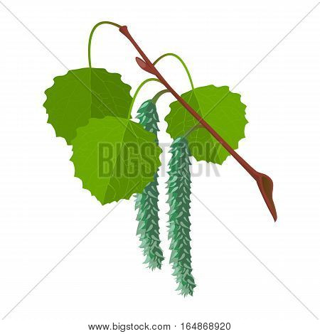 Aspen with leaves and male flowers isolated on white background. Realistic vector detailed illustration of greenery foliage of birch tree in springtime. Botanical leafage widely used in medicine
