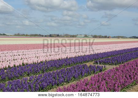 Hyacints in various shades of purple and pink growing on a field Dutch flower industry