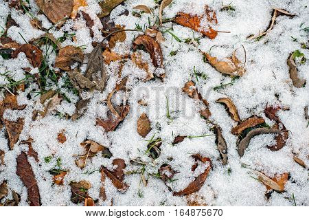 First snow on autumn falling leaves in forest