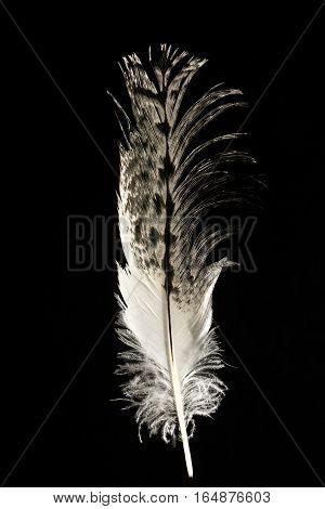 Feather of Australian white ibis Threskiornis moluccus isolated on black