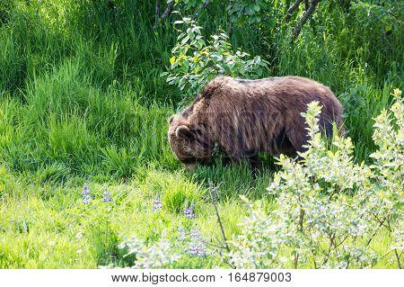 An Alaskan brown bear feeding on grass