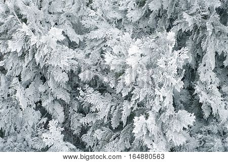 texture background of natural pine needles of thuja plants in frost Branches of a coniferous tree Thuja covered with shiny hoarfrost