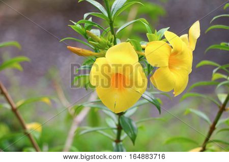 Allamanda cathartica Yellow flower at beautiful Golden Trumpet willow-leaved climber bloom in the garden