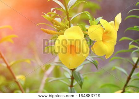 Allamanda cathartica Yellow flower at beautiful Golden Trumpet willow-leaved climber bloom in the garden with sunset light tone