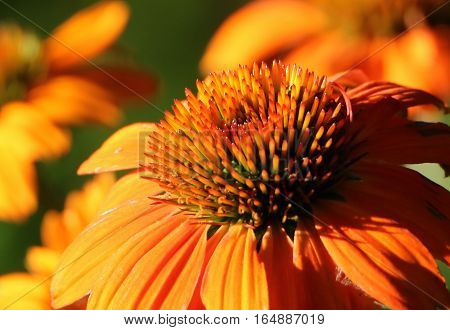 Close up of an orange cone flower bloom with more orange cone flowers as bokeh on a dark green background.