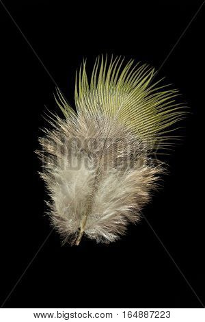 Treron waalia Bruces green pigeon bird feather isolated on black