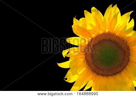 Sunflower isolated on black background with copy space