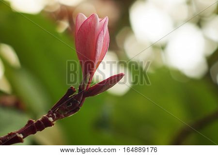 Pink Plumaria, Frungipani, Lei Flower and green leaf