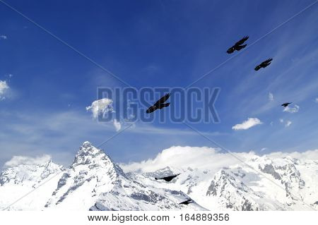 Flock of Alpine Chough (Pyrrhocorax graculus) flying in winter snow mountains. Caucasus Mountains region Dombay.