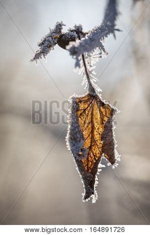 A laurel leaf covered with hoarfrost which simply does not fall from the tree.