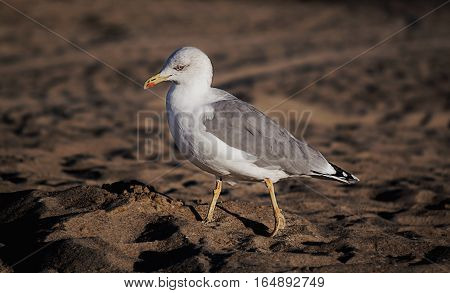 the sea sandy beach Seagull walking sunrise clous-up