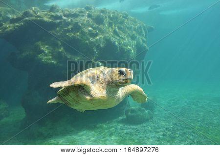 Sea Turtle inside a Turtles hospital in Reunion Island