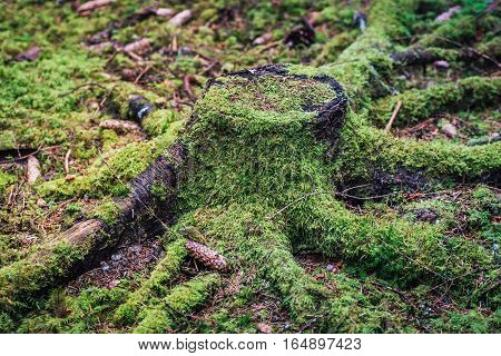 Old stub from a fir tree over grown with green moss. Looks like an octopus crawling on the ground.