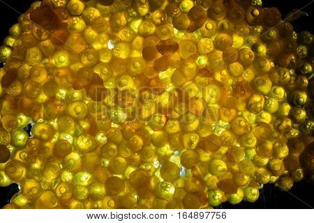 Macro shot of back lit fish eggs or spawn on a glass plate.