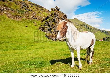 Beautiful white icelandic horse on the green field. Summer landscape southern Iceland
