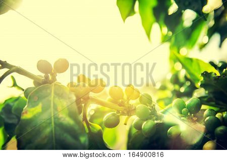 Fresh ripening Coffee Cherries on coffee trees with Selective Focus vintage tone
