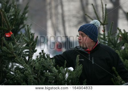 Bucharest Romania December 20 2009: A man selects a natural Christmas tree in a Christmas tree market in Bucharest.