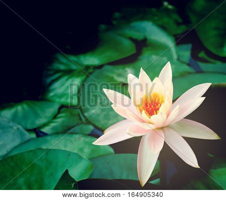 beautiful lotus flower is complimented by the rich colors of the deep blue water surface.