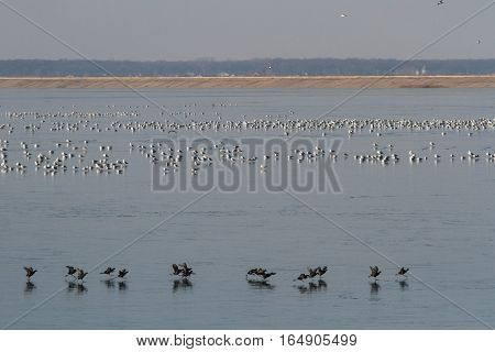 Bucharest Romania December 30 2012: Colonies of birds are seen on a lake at the periphery of Bucharest.