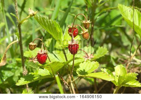 Appetizing ripe wild strawberry fruits grows in green grass close up