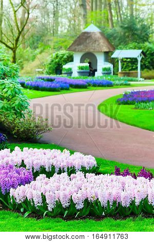 Colorful purple, pink and lilac hyacinth flowers blossom in keukenhof spring garden