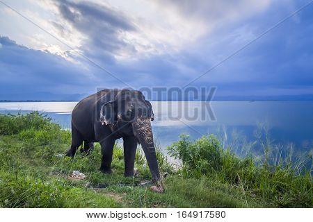 Sri Lanka elephant in Uda Walawe national park, Sri Lanka ; specie Elephas maximus maximus family of Elephantidae