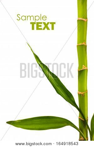 Green bamboo branches isolated on white background