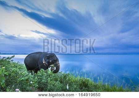 Asian elephant in Uda Walawe national park, Sri Lanka ; specie Elephas maximus maximus family of Elephantidae