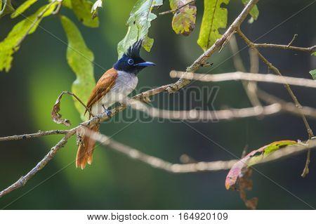 Asian paradise flycatcher in Bundala national park, Sri Lanka ; specie Pavo cristatus family of Phasianidaespecie Terpsiphone paradisi family of Monarchidae