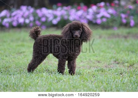 Chocolate toy poodle with purple flowers in the back ground