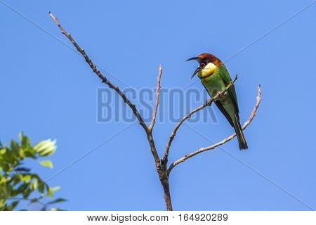 chestnut-headed bee-eater in Bundala national park, Sri Lanka ; specie Pavo cristatus family of Phasianidaespecie Merops leschenaulti family of Meropidae
