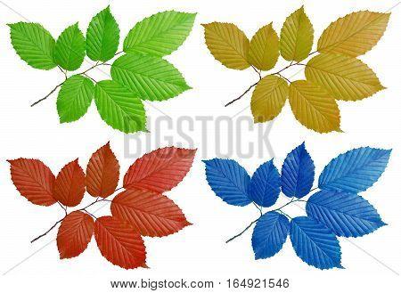 colorful foliage hornbeam isolated on white background