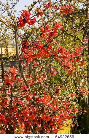 Branch of quince with red flowers in garden.