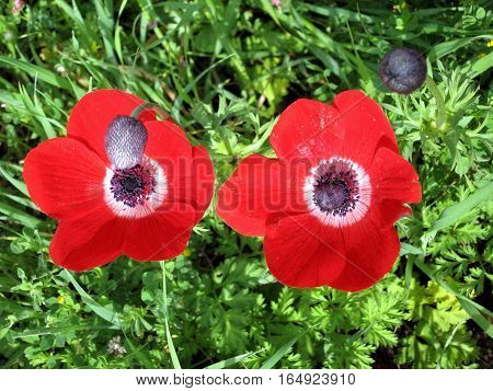 The Crown Anemone flowers in forest park in Shoham Israel February 20 2007