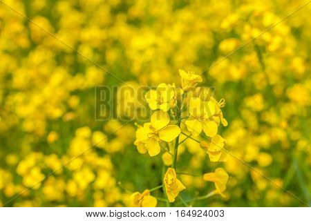 Blossoming rape field as natural background, close-up