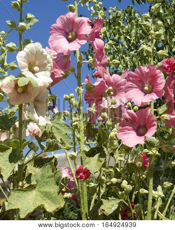 Pink and white mallows in garden on blue sky.