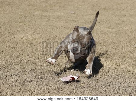 Dog playing at the park with an old plastic cup