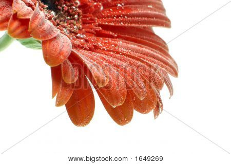 Red Gerbera Flower With Bubbles Closup