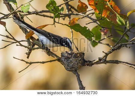 White-browed fantail flycatcher in Uda Walawe, Sri Lanka ; specie Rhipidura aureola family of Rhipiduridae
