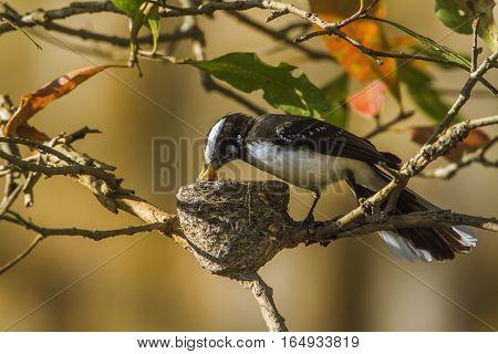 White-browed fantail flycatcher in Uda Walawe, Sri Lanka ; specie Rhipidura aureola family of Rhipiduridae poster