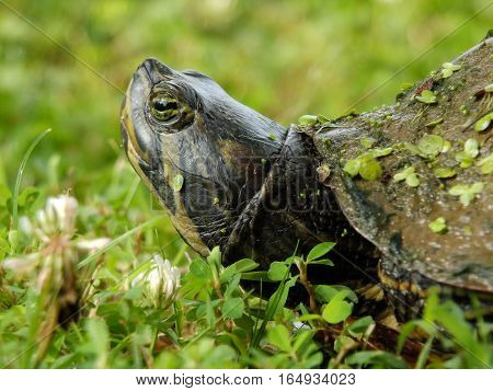 Extreme close-up of green slider turtle in the grass