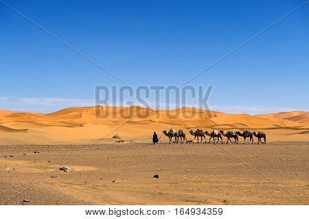 Merzouga Morocco - April 12 2016: Berber man leading a camel caravan in the Erg Chebbi dunes in Morocco.