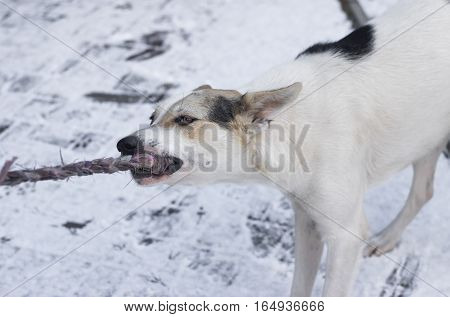 Young mixed-breed dog pull out rope playing with master outdoors at winter season