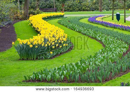 Flowerbed with yellow daffodil flowers blooming in keukenhof spring garden